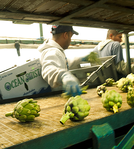 Artichoke packers